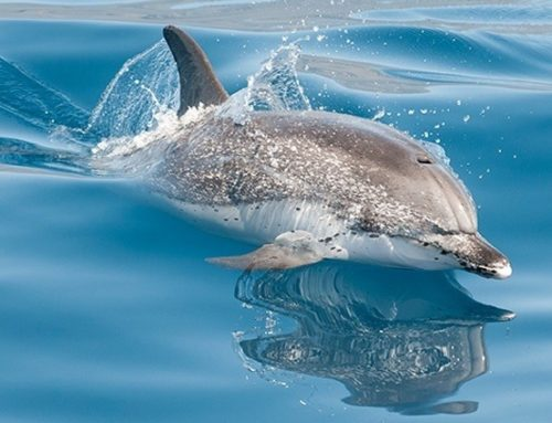 Veľryby a delfíny na Kanárskych ostrovoch